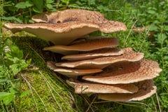 Kinkietowy szelfowego grzyba dorośnięcie na drzewie Zdjęcie Stock