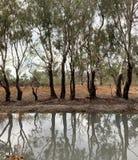 Kinnaird Wetlands. Red River Gums in Wetlands royalty free stock image