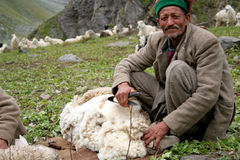 Kinnauri Sheep Shearer. A Kinauri Sheep Shearer shears the woolen fleece of his sheep on the Himalaya Mountains Slopes. Taken at, Bhaba Pass, Kinnaur Valley Stock Photography