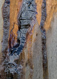 Kino gum oozed from eucalyptus tree Stock Images