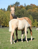 Kinsky horse mare with foal in autumn Royalty Free Stock Images
