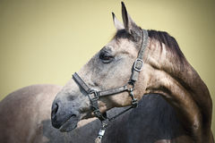 Kinsky mare Stock Photography