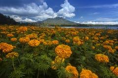 Kintamani. Flower plantation arround Batur lake Kintamani Bali, Indonesia Stock Photos