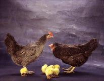Kip aan de kippen Royalty-vrije Stock Afbeelding