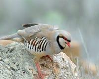 Kip-als Vogel genoemde Chuckar Royalty-vrije Stock Afbeeldingen