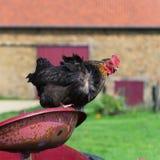 Kip bij het landbouwbedrijf Royalty-vrije Stock Fotografie