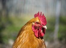 Kip bij het landbouwbedrijf Stock Foto