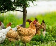 Kip bij het landbouwbedrijf Royalty-vrije Stock Foto's