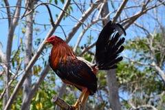 Kip in Colombia op een toppositie royalty-vrije stock foto