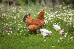 Kip die dat kippen het voeden letten op Royalty-vrije Stock Afbeelding