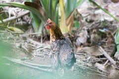 Kip die in een de zomertuin lopen met haar kuikens stock afbeelding