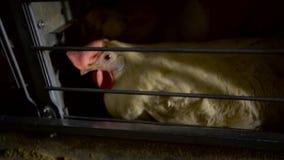 Kip die in fabriek eten Langzame Motie stock footage