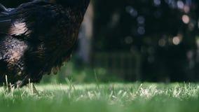 Kip die graan en gras eten stock footage