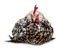 Kip die op een witte achtergrond wordt geïsoleerdt Royalty-vrije Stock Foto's
