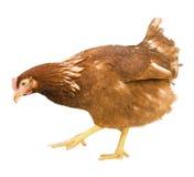 Kip die op een witte achtergrond wordt geïsoleerdt Royalty-vrije Stock Fotografie