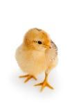 Kip die op wit wordt geïsoleerda stock fotografie