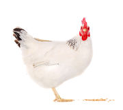 Kip die tarwe eet Royalty-vrije Stock Fotografie