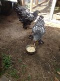 Kip die wei eten stock foto