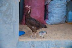 Kip in een dorpshuis Stock Afbeelding