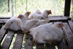 Kip in een gevogeltelandbouwbedrijf Royalty-vrije Stock Afbeelding