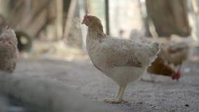 Kip in een kippenhok stock footage