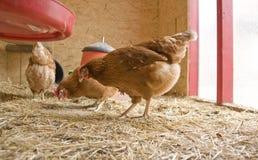Kip in een kippenhuis Stock Foto