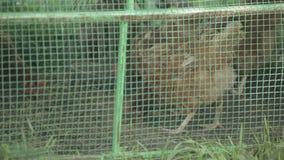 Kip in een kooi stock video