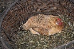 Kip in een mand Stock Foto