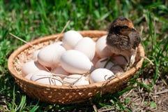 Kip in een mand met eieren Stock Foto's