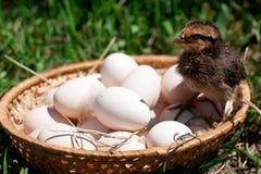 Kip in een mand met eieren Stock Afbeelding