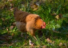 Kip in een tuin Royalty-vrije Stock Afbeeldingen