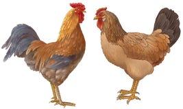 Kip en de haan Royalty-vrije Stock Foto
