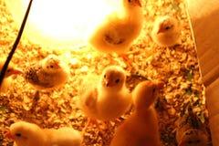 Kip en eenden Stock Foto
