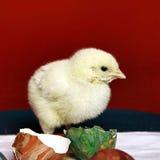 Kip en eierenshell Stock Fotografie
