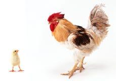 Kip en haan Stock Foto's