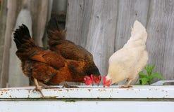 Kip en haan op landbouwbedrijf, die in openlucht schieten Rustiek thema Kleurrijke haan Stock Foto's