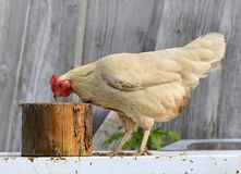 Kip en haan op landbouwbedrijf, die in openlucht schieten Rustiek thema Kleurrijke haan Stock Afbeelding