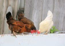 Kip en haan op landbouwbedrijf, die in openlucht schieten Rustiek thema Kleurrijke haan Royalty-vrije Stock Afbeeldingen
