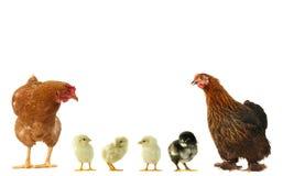 Kip en kuikens Stock Fotografie