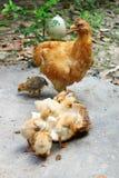 Kip en kuikens Royalty-vrije Stock Afbeeldingen