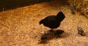 Kip en kuikens in de schuur 4k stock video