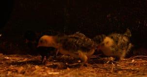 Kip en kuikens in de schuur 4k stock footage