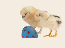 Kip of het ei? royalty-vrije stock afbeelding