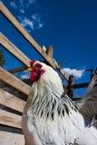 Kip in het landbouwbedrijf stock afbeelding
