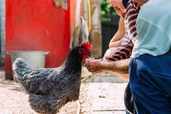 Kip het voeden de jongen en de mens worden gevoed van handen een zwarte kip met een rode kam royalty-vrije stock afbeeldingen