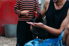 Kip het voeden de jongen en de mens worden gevoed van handen een zwarte kip met een rode kam stock fotografie