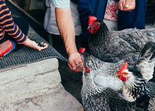 Kip het voeden de jongen en de mens worden gevoed van handen een zwarte kip met een rode kam royalty-vrije stock afbeelding