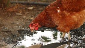 Kip het voeden in modder stock footage