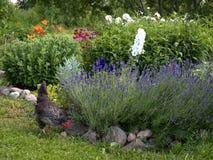 Kip het weiden op de tuin Stock Fotografie