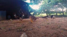 Kip in Kambodja die van de grond eten stock video